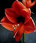 Amaryllis / Celebrating the beauty of the Amaryllis sold by the Huntington Society of Canada.