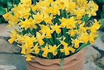 Narcissi Tete-a-Tete / A collection of beautiful pictures of this beautiful & popular flower.