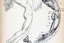 Anatomic drawings