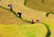 Paddy fields/sawah