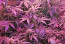 medical cannabis / pictures of or relating to medical cannabis