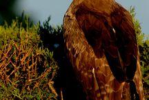 Urgal / My steppe eagle