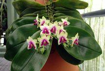 Phalaenopsis bellina & hybr