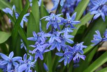 Scilla,muscari, snowflake, krokus, narsiscus / Spring bulbs bring the colour into the Garden before other perennials are just beginning their growth.That is why you like them.