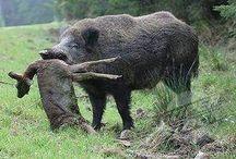 Giant boars please freeze