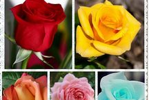 Roses the most of beautiful flower