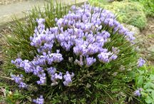 erinacea  'blue broom'
