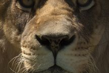 Lion / Como Zoo's Lions