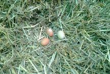 finding fresh eggs!!!!!!!!
