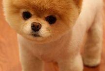 DOG POM & POODLE