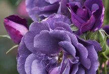 violetas!