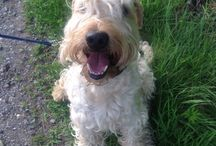 Bobben / Wheaten terrier
