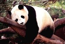 Panda Bears Storytime / What's black and white...?