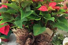 Smith's-Grown Poinsettias! / Smith's-Grown Poinsettias make a great gift. We will deliver, too! Order by phone (940) 692-7100 or come by 4940 Seymour Hwy., Wichita Falls