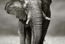 i love Elephan's