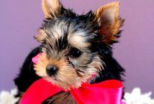 Minna-Minnie / My beautiful yorkshire terrier <3