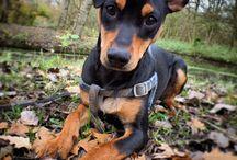Germanpinscher mylo / Honden, puppy, Duitse pinscher