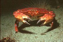 Jonah Crab recipes