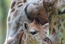 Animals: Giraffes
