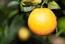 Orangen / Die Mallorquinischen Orangen sind süß und super saftig.
