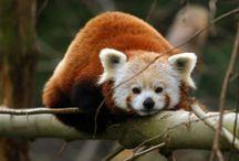 Animals - Pandas / by Jan Vafa