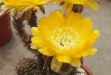 kaktusler