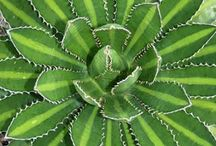 Aloes / Agave