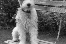 Wire Hair Fox Terrier