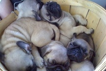 pugs / by Shanie Litton
