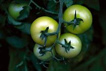 Green Tomato recipes / All recipes relating to green tomatoes.