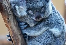 So Cute :) / This is basically a board dedicated to my obsession with koalas