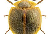 tenebrionidae nilionini