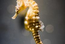 Hippocampi / Seahorses