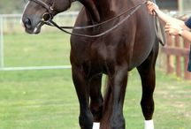 Warmblood Stallions