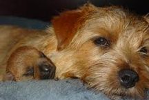 Norfolk Terrier rasa