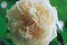 Old fashioned roses/heritage roses
