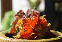 begonia / 베고니아 종류를 모읍니다