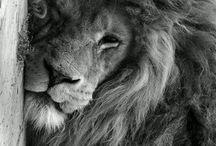 lion :3