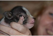 mini pigs / is there anything sweeter, than the small mini pigs?