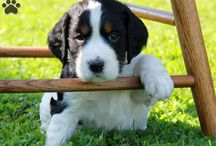 English Springer Spaniel Puppies and Dogs