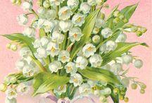 Konvalinky - lily of the valey - convalinária