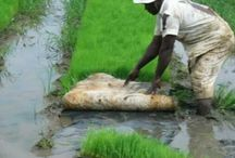 Planting rice for the future