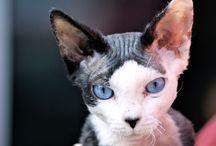 Hodowla kotów / Wszystko o hodowli kotów rasowych