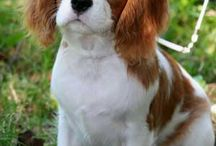 Cavalier King Charles Spaniels / by Dogsclub .TV