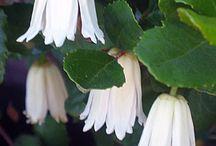 Weiße Blumen / Weiße Blumen