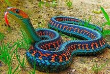 SNAKES / Snakes are amazing reptiles that people either love or hate. Some are dangerous and deadly, while others are not.