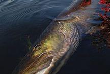 Fish-Pike