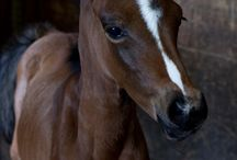 cuccioli di cavallo