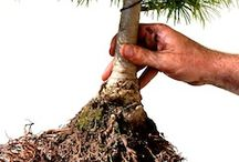 bonsai purning roots