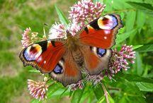 Vlinders enz.